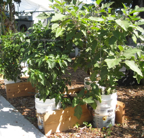 Eggplants bucket containers at Community Garden